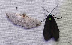 Moths, Thyrididae and Ichoria sp., Erebidae, Arctiinae (Ecuador Megadiverso) Tags: andreaskay arctiidae ecuador erebidae moth tigermoth wildsumaco thyrididae ichoria arctiinae