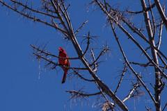 03-17-2019 Cardinal IMG_4639-L (mnchilemom) Tags: birds cardinal spring