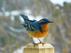 Varied Thrush (starmist1) Tags: thrush variedthrush deck post trees bokeh winter snow warming backyard snowfield march bird