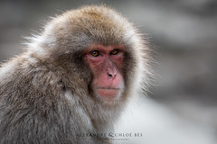 Snow Monkey (Alexandre & Chloé Bès - Waitandshoot Photography) Tags: canon exterieur nature forest outdoor animal extérieur winter snow wind japon hokkaido neige close japan compagnie monkey singe source chaude portrait