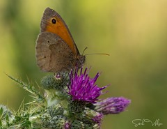 Meadow Brown Summer 2018 (SarahW66) Tags: meadowbrown butterflyonplant macrobutterfly butterflies butterfly butterflyonflower naturephotography natural britishnature naturephotograpy canoneos canon80d canoneos80d sigmamacro sigma105mm