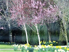 The Colours Of Nature. (Gary Chatterton 6 million Views) Tags: nature colours cherryblossom daffodils countryside trees flickrnature flickr explore canonpowershotsx430 photography