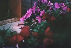 (letny vecher) Tags: 35mm 35мм smena8m smena8 smena смена8м смена8 смена пленочнаяфотография пленка аналоговаяфотография пленка35мм nofilter analogphotography russiaphoto lomography filmisnotdead filmphoto analog analogfilm 35mmrussia 35mmfilm 35ммпленка fujifilm400 fuji fujifilm fujifilmsuperia400 летнийвечер flowersonfilm flowers цветы
