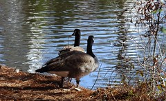 Keeping Secrets (ChicaD58) Tags: dscf6913a canadageese lake arboretum changeofscenery sunnyafternoon winter archives