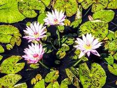 Four Pond Flowers (pmorris73) Tags: arboretum pennstateuniversity statecollege pennsylvania 1cc2119 2cc2119 3cc2219 4cc2319