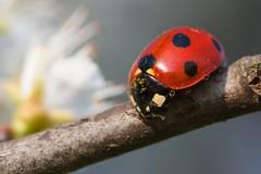 ladybug (Roberto_Mosca) Tags: