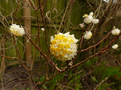 P1180780 (jrcollman) Tags: plants eplant edgeworthiachrysanthaetomentosaepapyrifera 21beechwoodgarden archived