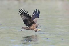NIBBIO BRUNO (ric.artur) Tags: nibbio fiume po piemonte nikon natura naturalmente rapace