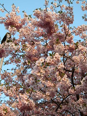 Spring blossom, Reading, UK (fyfester) Tags: blossom spring reading uk march 2019 berkshire