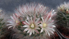 Mammillaria bocasana, 3 years from seed (armen.cactus) Tags: cactus succulent flowers blooms blossoms mammillaria bocasana macro closeup
