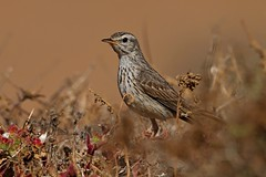 Rolf_Nagel-Fl-9545-Anthus_berthelothii (Insektenflug) Tags: anthusberthelotii anthus berthelotii kanarenpieper pieper berthelotspipit pipit bird wildlife lanzarote canary islands kanarische inseln avifauna fauna spain spanien spanish vogel birds ornithology vögel