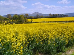 Golden Fields (3) Roseberry Topping. (Kev's.Pix) Tags: nunthorpe northyorkshire fields oilseedrape countryscene countryside field flowers