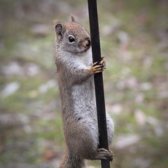Red Squirrel Workin' the Pole (rgdaniel) Tags: squirrel redsquirrel twitchy rodent wildlife animals