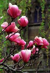"Cincinnati - Spring Grove Cemetery & Arboretum ""Betty Magnolia Outside Dexter Mausoleum Window"" (David Paul Ohmer) Tags: cincinnati ohio spring grove cemetery arboretum betty magnolia flowers dexter mausoleum window"