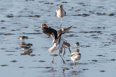 American Avocet (Recurvirostra americana) (byjcb) Tags: avocet birds