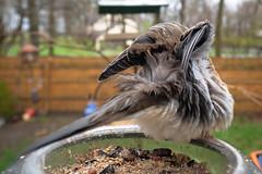 Shake your tail feathers. (Literally.) (Amarand Agasi) Tags: bird mourning dove mourningdove feeder backyard vegan wet shaking shakeitoff