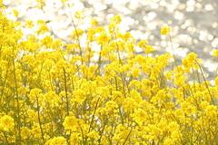 Rapeseed blossoms (Teruhide Tomori) Tags: landscape japan japon nature evening light riverside rapeseedblossoms yogoriver 余呉川 菜の花 アブラナ 日本 滋賀県 湖北 kohoku 風景 自然 spring flower