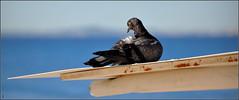 avec sa gueule de lendemain de Fêtes... (Save planet Earth !) Tags: bird pigeon france nice amcc nikon
