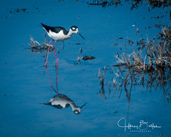 Baylands-8302 (Jeffrey Balfus (thx for 3.3 Million views)) Tags: baylands birds sonyalpha flowers nature sonyilce6300 sony6300 mirrorless sonyemount sony70400mmf45gssmii thegalaxy coth coth5