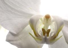 White on White (Grenzeloos1) Tags: macromonday detail macro theme heart whiteonwhite hmm orchid white