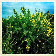 January Gorse (Explored) (Julie (thanks for 8 million views)) Tags: gorse flower wildflower ireland irish flora green hggt squareformat hipstamaticapp 2019onephotoeachday iphonese wexford sky 100xthe2019edition 100x2019 image14100