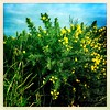 January Gorse (Explored) (JulieK (thanks for 8 million views)) Tags: gorse flower wildflower ireland irish flora green hggt squareformat hipstamaticapp 2019onephotoeachday iphonese wexford sky 100xthe2019edition 100x2019 image14100