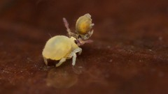 Sminthurides sp. (Yusei Hara) Tags: collembola animal insect macro