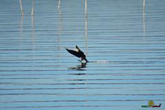 A-LUR_3799 (OrNeSsInA) Tags: aly passignano panicale natura panorami campagma campagna landescape trasimeno nikon canon airone airon cormorano spettacolo birdwatching albero cielo animale mare acqua uccello