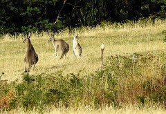 The kangas & the kestrel (Lesley A Butler) Tags: australia victoria