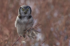 Hawk Owl (PamsWildImages) Tags: bird britishcolumbia beautiful canada canon nature naturephotographer wildlife wildlifephotographer raptor pamswildimages pammullins hawkowl