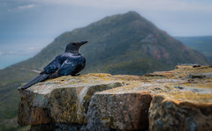 Leave me alone! (Ingeborg Ruyken) Tags: kaapstad 500pxs southafrica winter instagram vogel bird tablemountain redwingedstarling natuurfotografie zuidafrika tafelberg flickr capetown