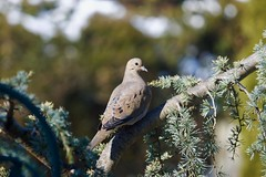 Sitting pretty just for me! (ineedathis, Everyday I get up, it's a great day!) Tags: dove weepingatlascedar ornamentaltree tree arborvitae bird bokeh snow garden nature winter zoom nikond750 mourningdove avian