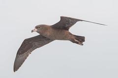 Flesh-footed Shearwater (RoosterMan64) Tags: australia bif bird birdinflight fleshfootedshearwater nsw nature shearwater sydney wildlife