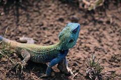 Blue-headed tree agama Serengeti in Tanzania (inyathi) Tags: eastafrica tanzania africananimals africanreptiles lizards blueheadedtreeagama reptiles acanthocercusatricollis nationalpark africa