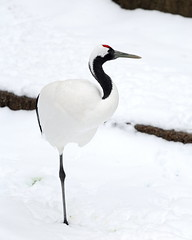 Red-Crowned Crane (MatthwJ) Tags: red crowned crane snow columbus ohio zoo 2019