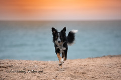 Runing on beach (Flemming Andersen) Tags: sun beach sunset pet nature water dog bordercollie outdoor frisbee animal