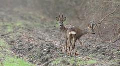 Chevreuils (Guillaume Dardant) Tags: nature sauvage animaux mammifères loiret d810 nikon 500mmf4 chevreuil brocard capreoluscapreolus cervidés velour roedeer affût
