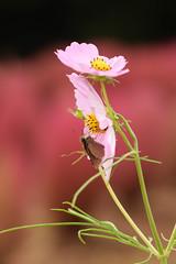 DSC_6638 (Hachimaki123) Tags: 所沢航空記念公園 tokorozawaaviationmemorialpark 日本 japan 所沢市 埼玉県 所沢 tokorozawa saitama animal insect insecto 虫 動物 butterfly mariposa