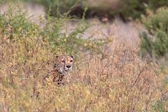 The Hunter (Hector16) Tags: africa matthewsmountains kenya samburuculture samburunationalpark sarara samburu easternprovince ke