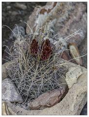 Glandulicactus uncinatus var. wrightii (AnEyeForTexas) Tags: brownfloweredhedgehog echinocactusuncinatusvarwrightii glandulicactusuncinatusvarwrightii cactus plant chihuahuandesert