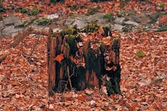 Memories of a Better Time (tduaneparker) Tags: tamron nikon tamron2875mmf28 nikond700 mammothcavenationalpark autumn kentucky park leaves stump tree forest landscapes nature