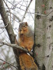 brunch (Cheryl Dunlop Molin) Tags: squirrel foxsquirrel mammal