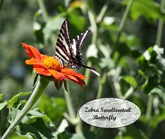 This is my favorite butterfly! The Zebra Swallowtail.. (Mary Alice Bowles) Tags: zebraswallowtail butterfly marysplace scottcounty indiiana