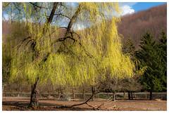 Premières larmes du saule (Pascale_seg) Tags: paysage landscape arbre tree saule saulepleureur printemps spring primavera albero green vert verde nature natura moselle lorraine grandest france nikon
