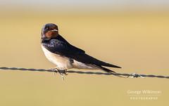 Barn Swallow (Hirundo rustica) (George Wilkinson) Tags: cáceres cáceresprovince spain es extremadura barn swallow hirundorustica hirundine bird passerine canon 7d 400mm mark ii santa marta de magasca caceres