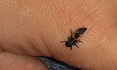 Harlequin ladybird larvae, Harmonia axyridis (Geckoo76) Tags: insect beetle ladybird ladybug harlequinladybirdlarvae harmoniaaxyridis