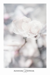 Magnolia, 05/04/2019 (smoothna) Tags: magnolia smoothna d90 macro doubleexposure nature blooming spring