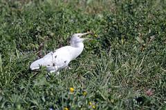 héron garde boeufs (gimbellet) Tags: canon nikon animals animaux animal oiseaux oiseau birds bird nature extérieur france french faune