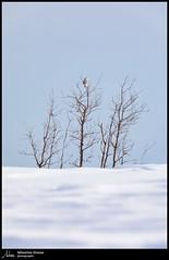 Harfang des neiges (Sébastien Dionne photographe) Tags: harfang harfangdesneiges snowyowl owl hibou hiboux isleverte rnfdelabaiedelisleverte parccôtierkiskotuk bassaintlaurent canon canon5dmarkiv canon5dmkiv 5dmarkiv 5dmkiv 150600mm 150600 sigma sigma150600 sigma150600dgoshsmsport sigma150600s