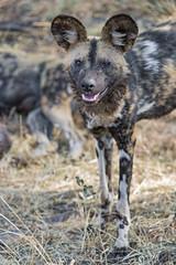 Wild dog posing (Tambako the Jaguar) Tags: wild dog painted african canid canine posing standing portrait ears savanna dry grass safari lionsafaripark johannesburg southafrica nikon d5